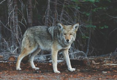 Peace Fur Review Coyote